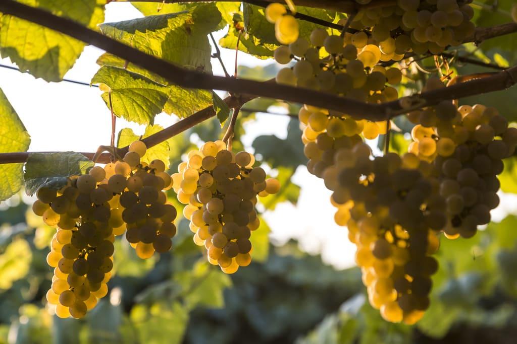 Albariño wine Rías Baixas