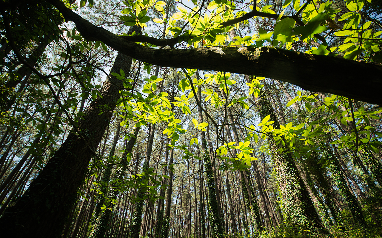 Discover the biggest laurel tree forest in Europe